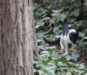 gato-de-caza