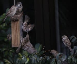 gorriones-alimentando-a-sus-congeneres
