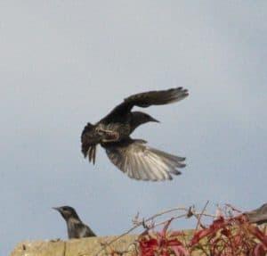 estornino-volando-para-aterrizar