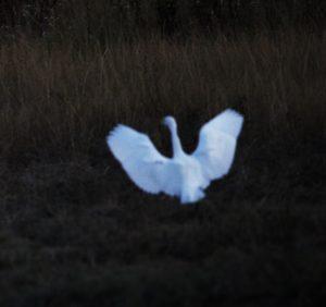 garza-volando-en-la-noche