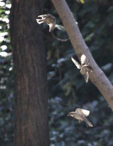 tres-gorriones